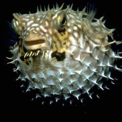 Kedvenceink, a bociszemű sünhalak