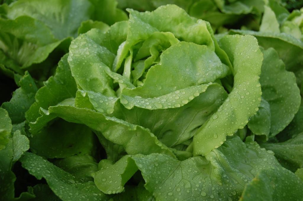 salata-egyiptom-fosas-gyomorrontas