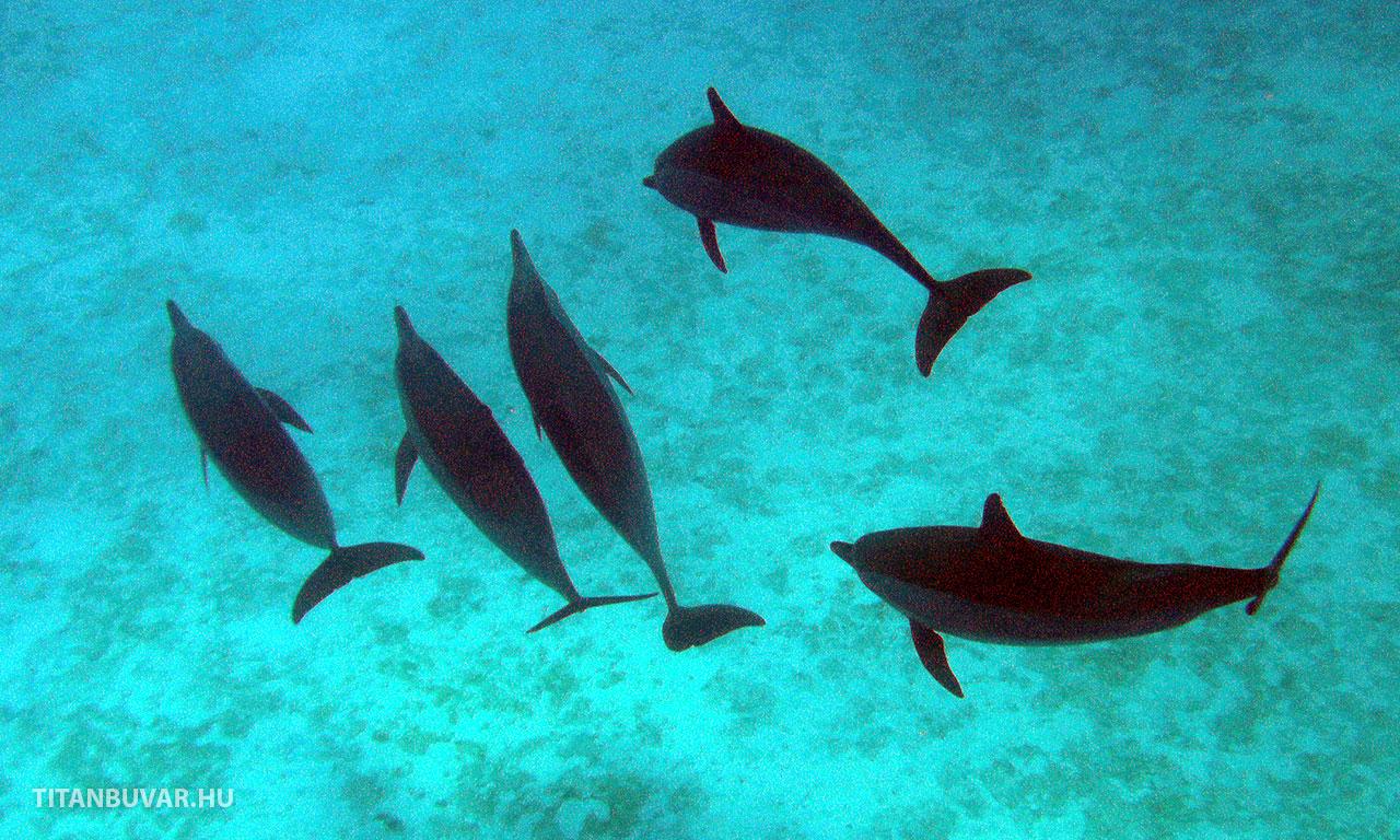 szabadon élő delfinek egyiptomban